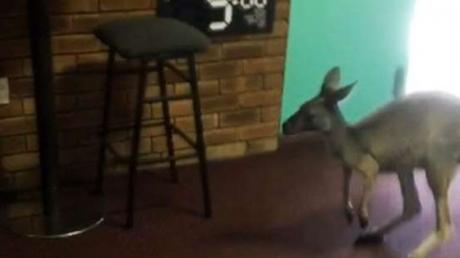 This Kangaroo Caused Chaos When It Made A Surprise Entrance Into A Bar