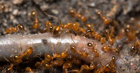 This Man Put Fire Ants In His Underwear And Soon Regretted It