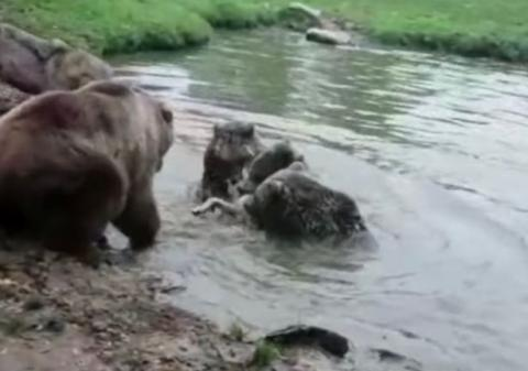 Shocking Moment A Group Of Bears Maul A Wolf To Shreds At A Dutch Zoo