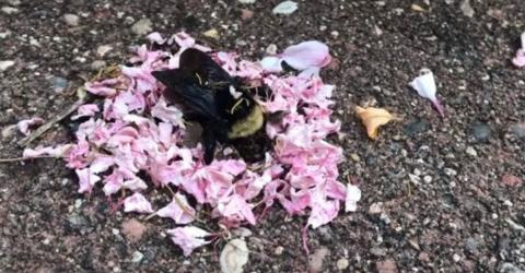 Incredible Video Shows Ants Bringing Flower Petals To A Dead Bee