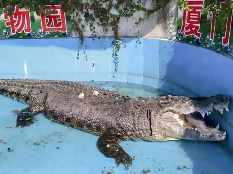 Crocodile Was Left Bleeding At Chinese Zoo After Tourists Threw Rocks At Him