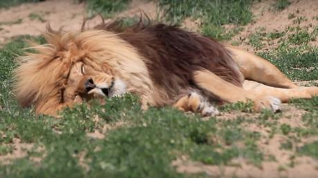 This Lion's Snoring Will Put Any Human's To Shame (Video)