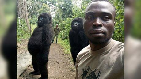 Gorillas Caught Acting Like Humans In This Hilarious Photo!