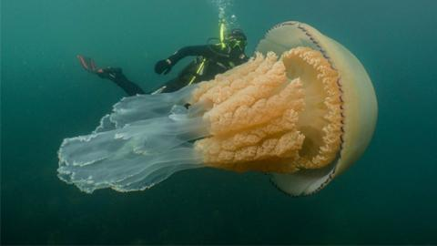 This Incredible Footage Of A Giant Jellyfish Is Fascinating The Web