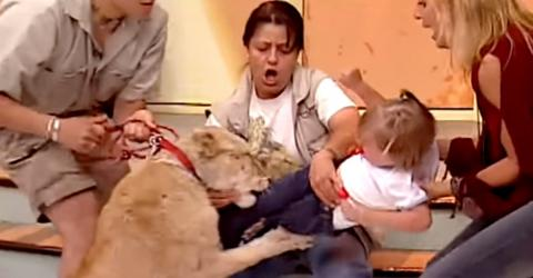 The terrifying moment a lion attacks a child on a live television program