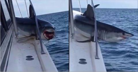 Shock Moment Crew Got More Than They Bargained For When A Shark Latched Onto Their Boat