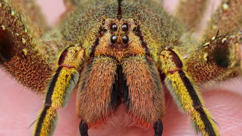 The Cure For Erectile Disfunction Could Potentially Be Found In This Spider's Venom