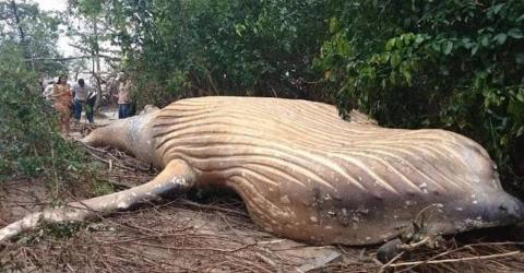 This Whale Appeared In The Middle Of The Amazon Rainforest... And No One Can Work Out How It Got There