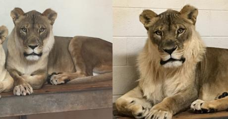 Experts Have Finally Discovered Why This Lioness Suddenly Started Growing A Mane