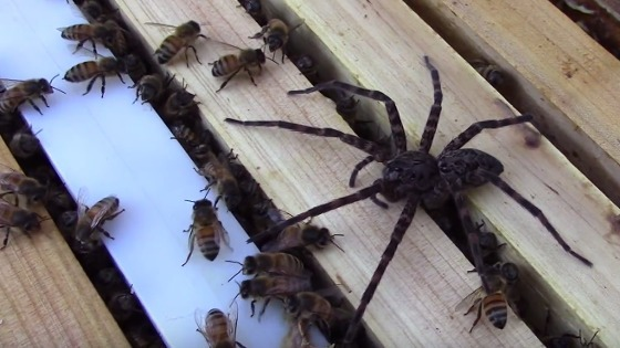 Fishing Spider Takes On A Swarm Of Bees In Incredible Footage