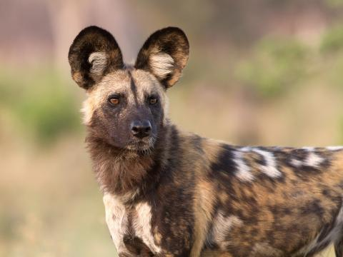 Watch As An African Wild Dog Plays Dead In Order To Escape A Hungry Lioness (VIDEO)