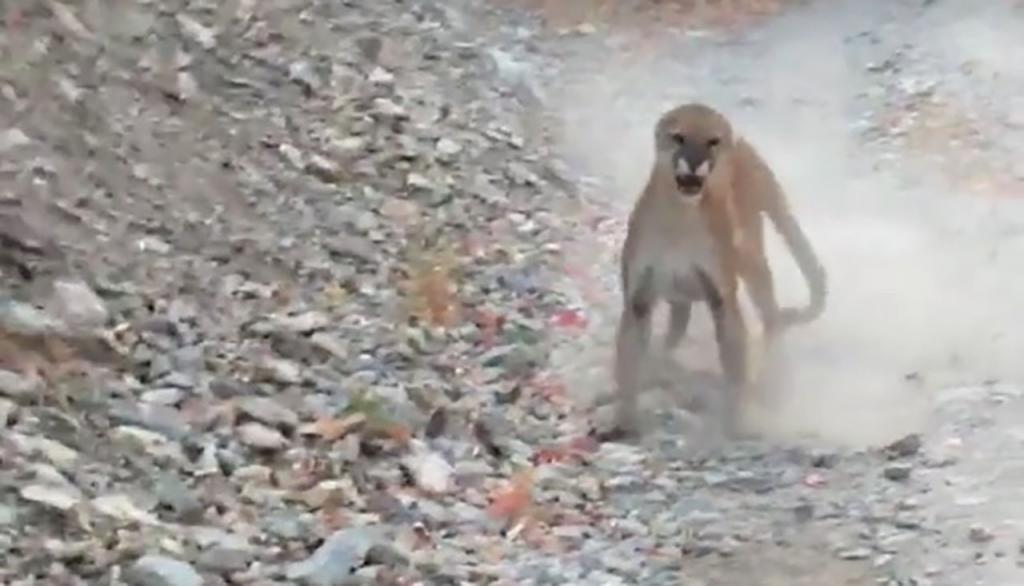 Jogger fears for his life as he is being chased by a cougar