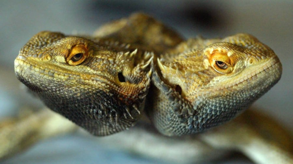 16 Seriously Freaky Two Headed Animals Found Alive and Well