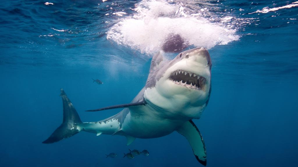 Researchers nicknamed this female great white shark the ...