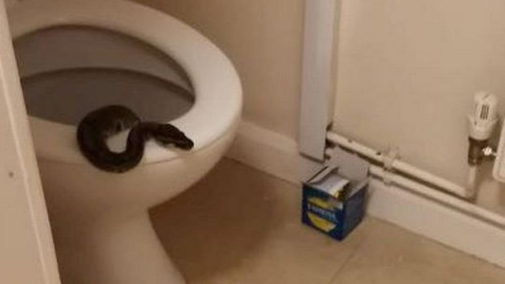Woman terrified to find python sticking its head out of her toilet at 5am