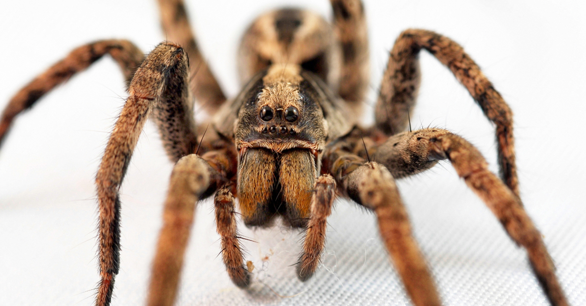 Wolf Spiders Could Have An Unexpected Influence On Global Warming