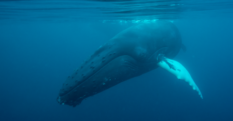 This Man Swallowed Alive By A Whale But Miraculously Survived