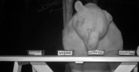 A Beekeeper Lets A Thieving Wild Bear Taste-Test His Honey (Video)