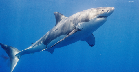 This Great White Shark Could Be The Biggest Ever Recorded