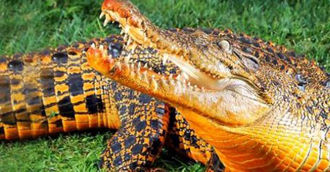 The Orange Cave Crocodiles Of Gabon Are Evolving Into A Completely New Species