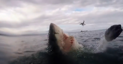 This man nearly lost his hand after trying to film a great white shark