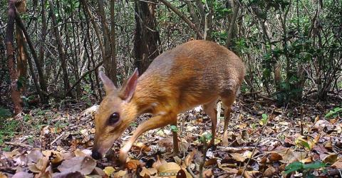 A Stunning 'Mouse-Deer' Photographed In Vietnam For The First Time In 30 Years