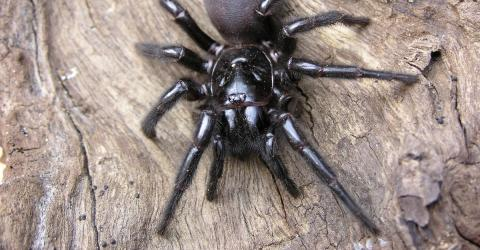 A Spider Which Could Kill A Human In 15 Minutes Has Been Discovered In Australia