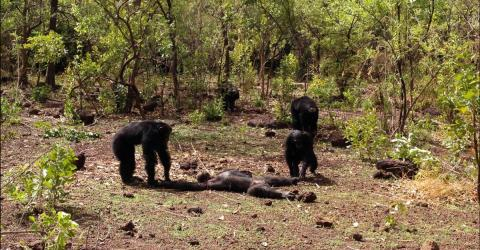 Brutal Footage Shows What Happens When Chimps Turn On Their Leader