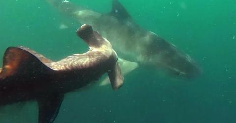 Shark vs shark: A tiger shark tries to take on a hammerhead