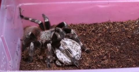 Terrifying Moment a Woman Opens a Tarantula's Egg Sac