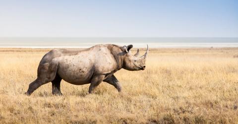 Tourists Got A Fright As A Rhino Chased Them Through A Safari