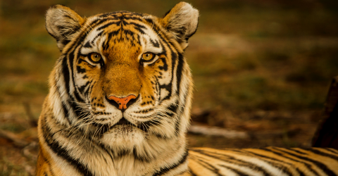 Man Narrowly Avoids Death After Playing Dead in the Face of a Tiger