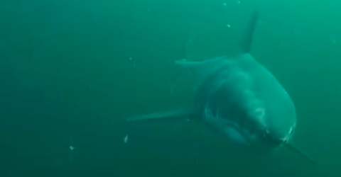 Here Is What It's Like To Be Chased By A Great White Shark (VIDEO)