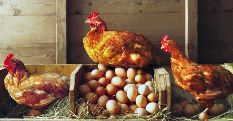 Which came first, the chicken or the egg? The answer is finally uncovered