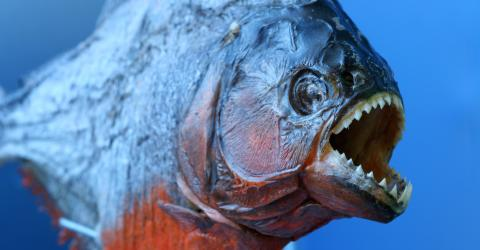 This video proves just how terrifying piranhas can be