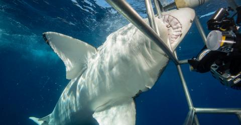 This Diver Narrowly Escaped With His Life After A Great White Shark Got Into His Protective Cage