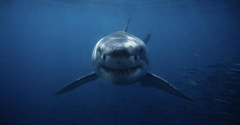 The Hunt for the Mystery Creature That Tore Off a Huge Chunk of a Shark's Head
