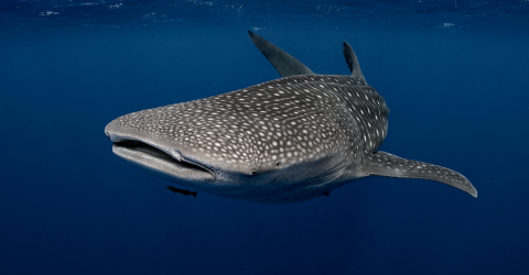 One Of The Planet's Biggest Sharks Has Been Caught On Film In The Red Sea