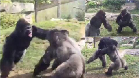 Two gorillas captured in an incredible fight at the zoo