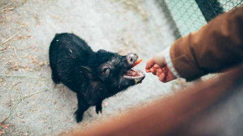 Experiment Shows Pigs Are Capable of Communicating With Humans