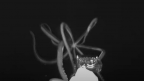 A giant squid has been caught on film in the US for the first time