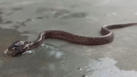 Researchers Recently Found and Took Video of a Rare Two-Headed Wolf Snake