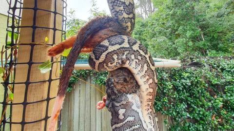This huge carpet python devours a possum in an upside down stunt