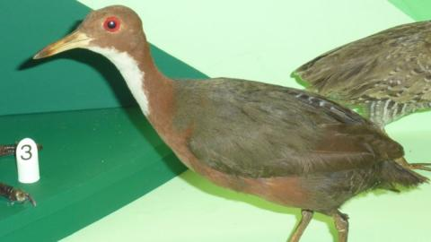 A bird that went extinct 136,000 years ago has mysteriously reappeared