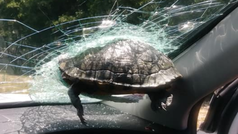 Driver left shocked as flying turtle smashes into windscreen