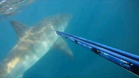 When A Diver Came Across A Huge Great White Shark in South Africa