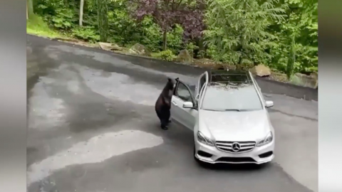 Man's girlish scream scares off car looting bear