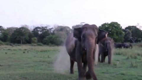 Tourists left terrified as elephants charge their jeep