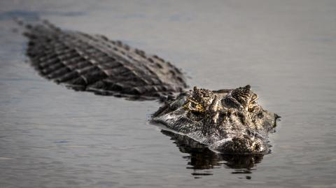 Locals left horrified as a woman's body was cut out of a crocodile