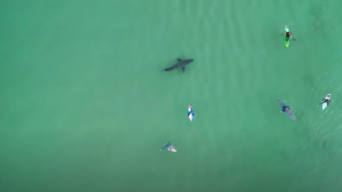 Drone footage of six surfers shows a deadly creature lurking beneath them